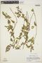 Acalypha botteriana image