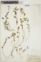 Acalypha brevicaulis image