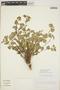 Acalypha californica image
