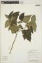 Acalypha chordantha image