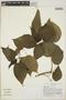 Acalypha cincta image