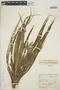 Guzmania angustifolia image