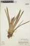 Guzmania nicaraguensis image