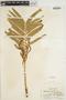 Plenasium vachellii image