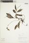 Peperomia alata Ruíz & Pav., Peru, T. S. Wachter 139, F