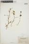 Euphorbia hirsuta (Torr.) Wiegand, British Virgin Islands, N. L. Britton 1067, F