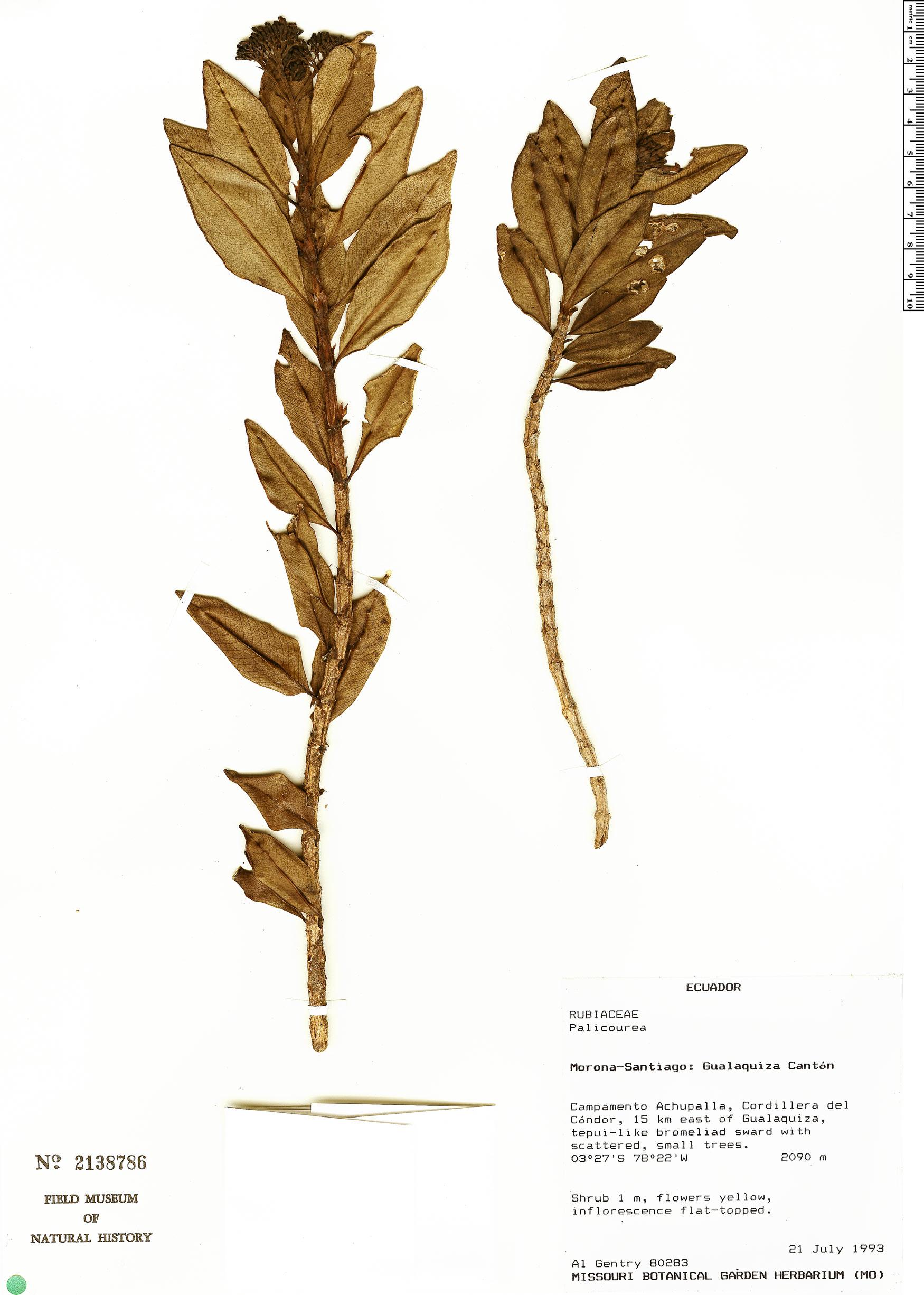 Specimen: Palicourea loxensis