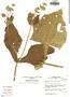 Smallanthus sonchifolius image