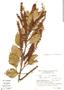 Roupala montana Aubl., Brazil, I. Cordeiro 6492, F
