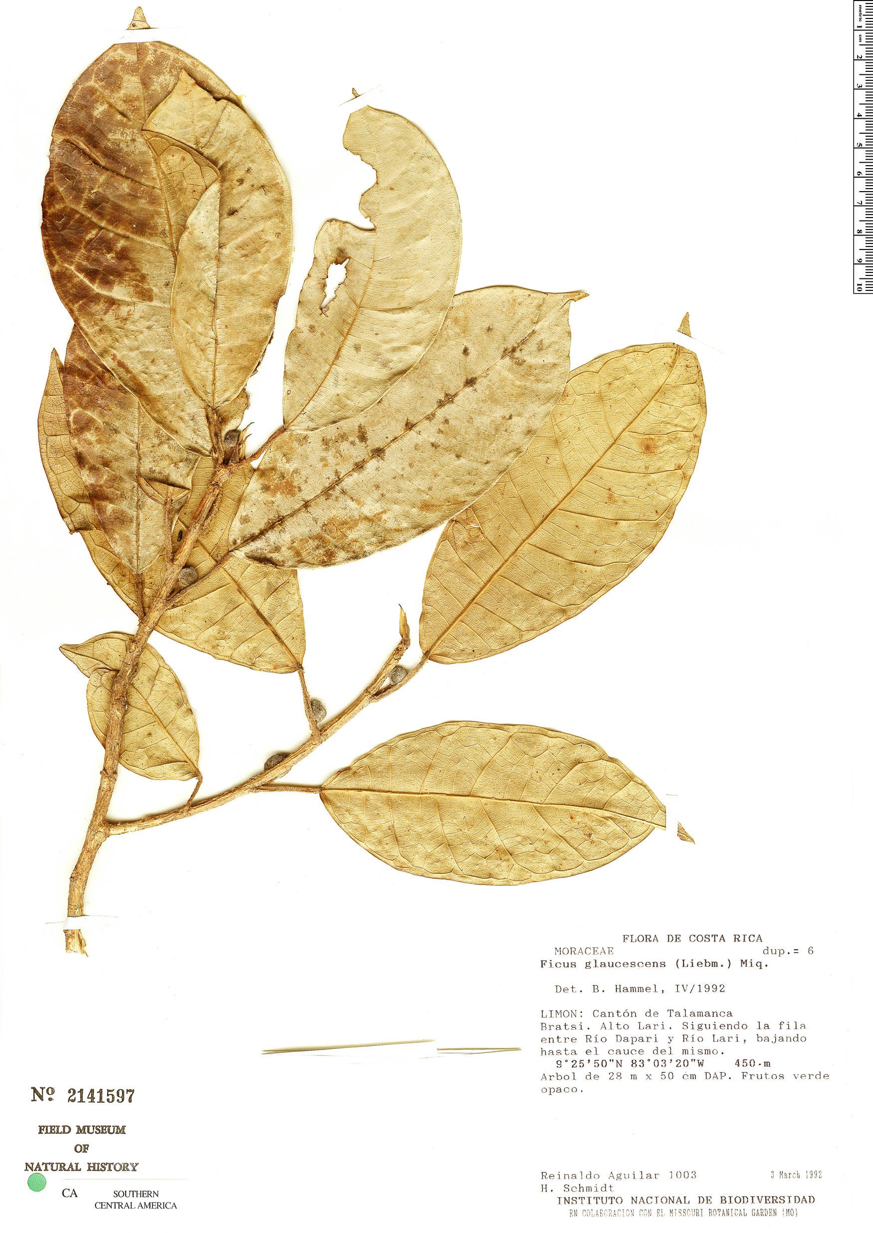 Specimen: Ficus glaucescens