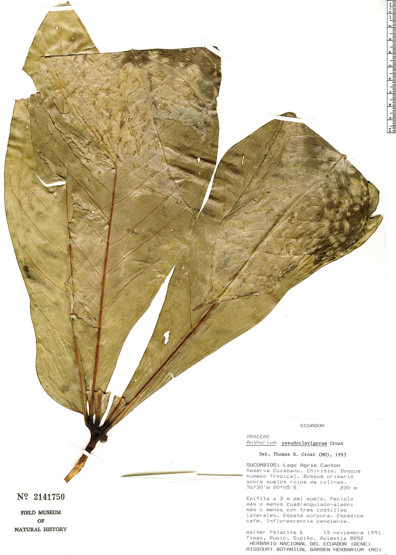 Espécime: Anthurium pseudoclavigerum