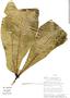 Anthurium pseudoclavigerum Croat, Ecuador, W. A. Palacios 8852, F