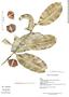 Garcinia madruno (Kunth) Hammel, Guatemala, P. Acevedo-Rodríguez 4919, F