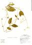 Alternanthera pubiflora image