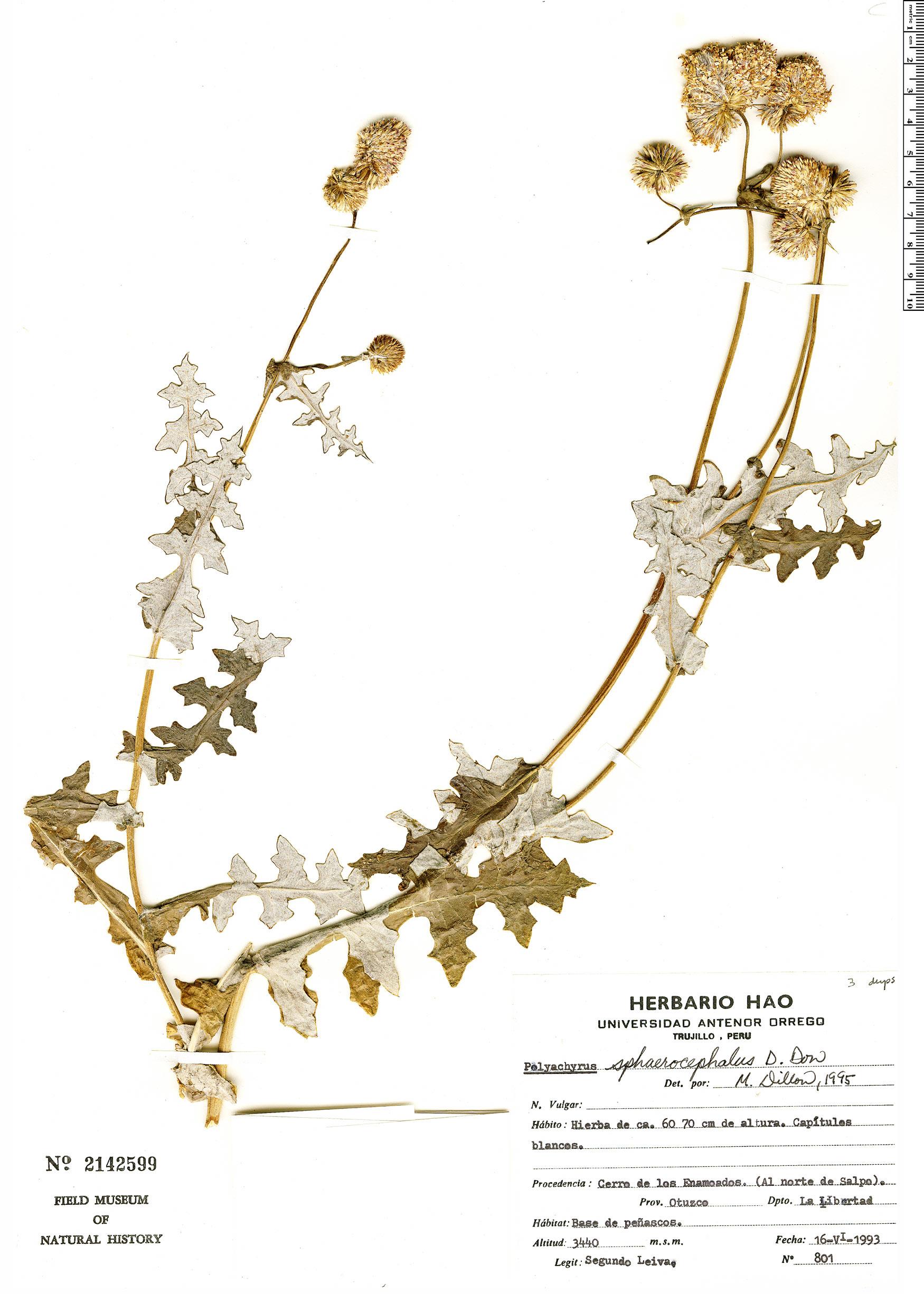 Espécimen: Polyachyrus sphaerocephalus