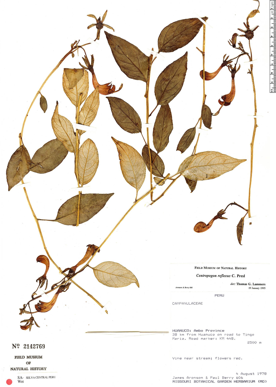 Specimen: Centropogon reflexus