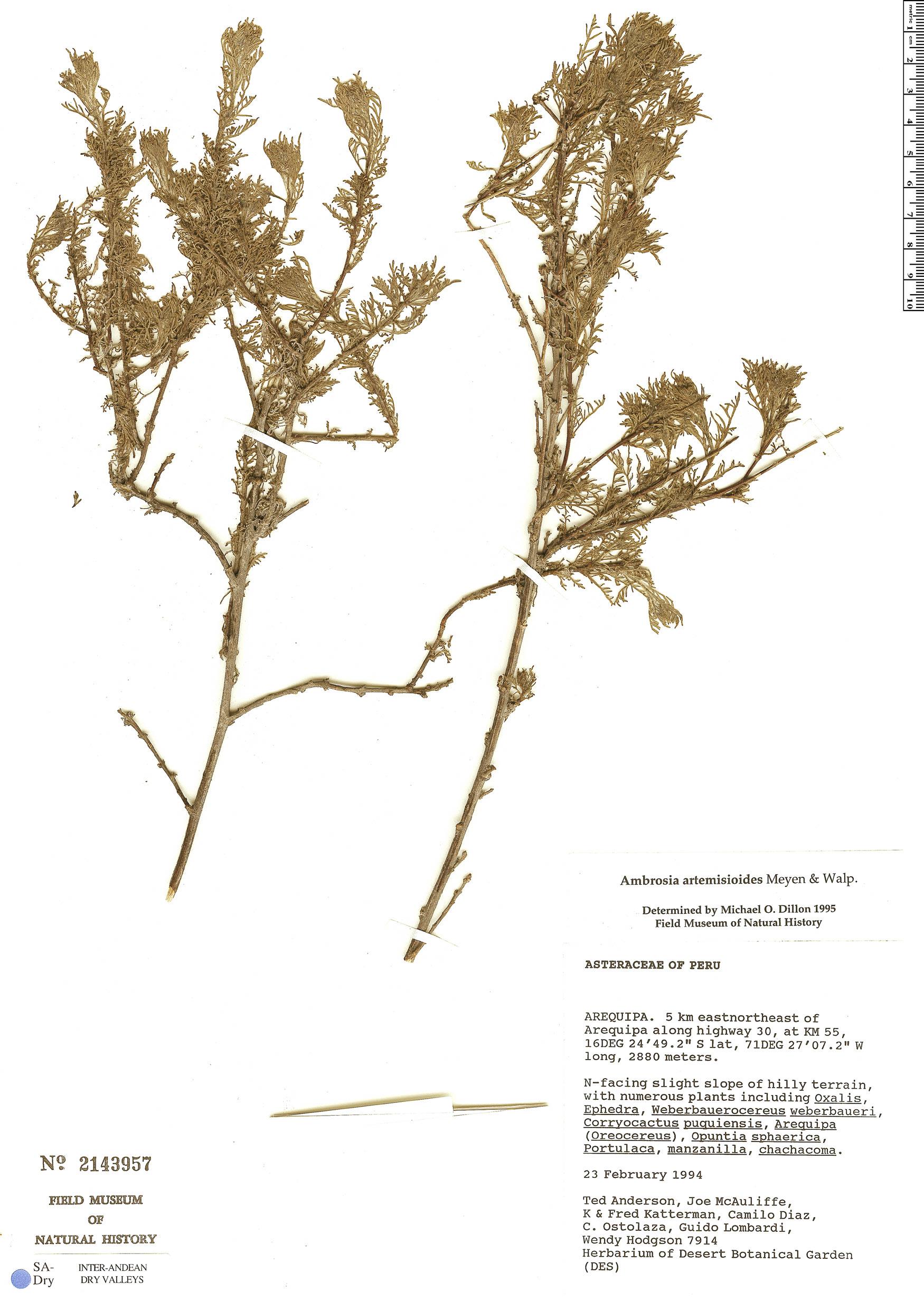 Ambrosia artemisioides image