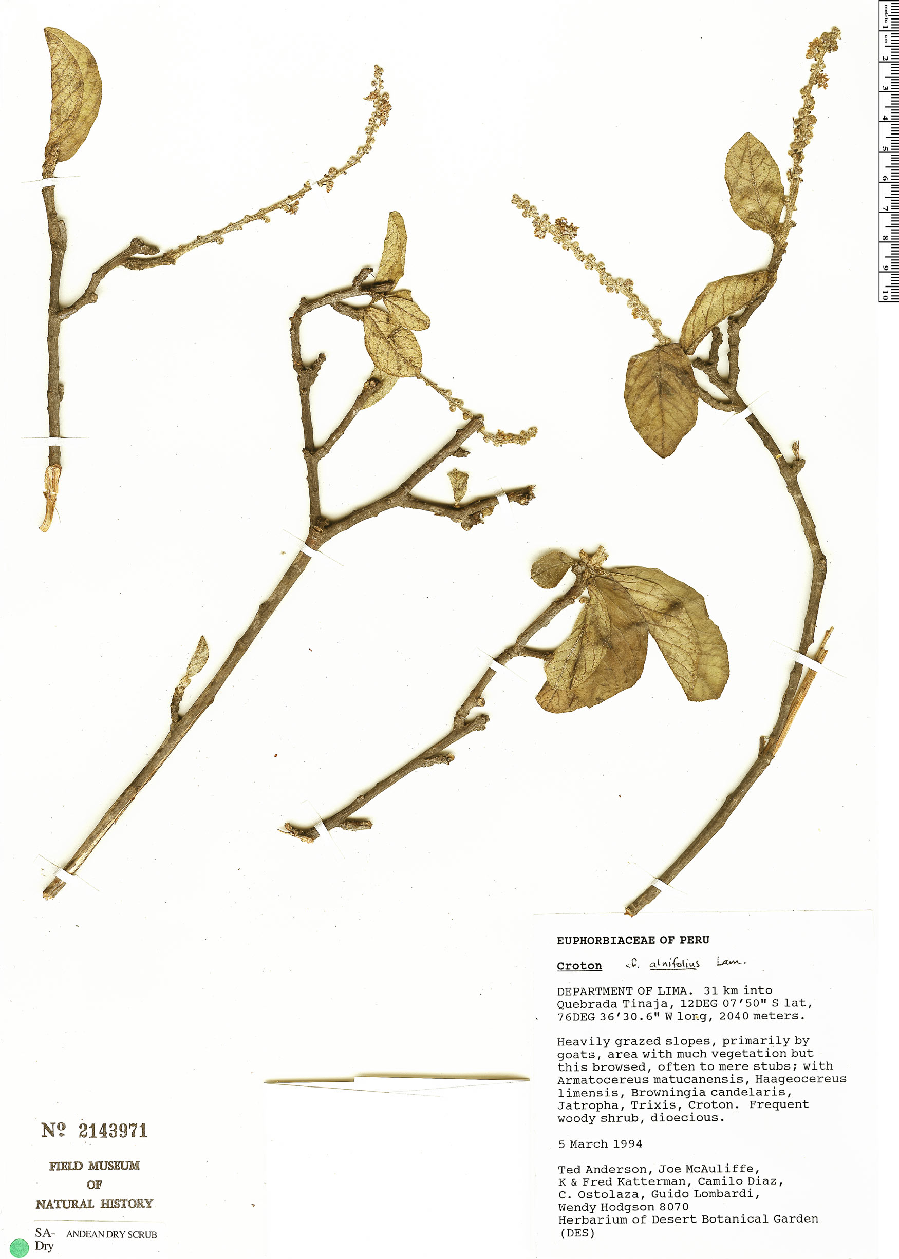 Specimen: Croton alnifolius