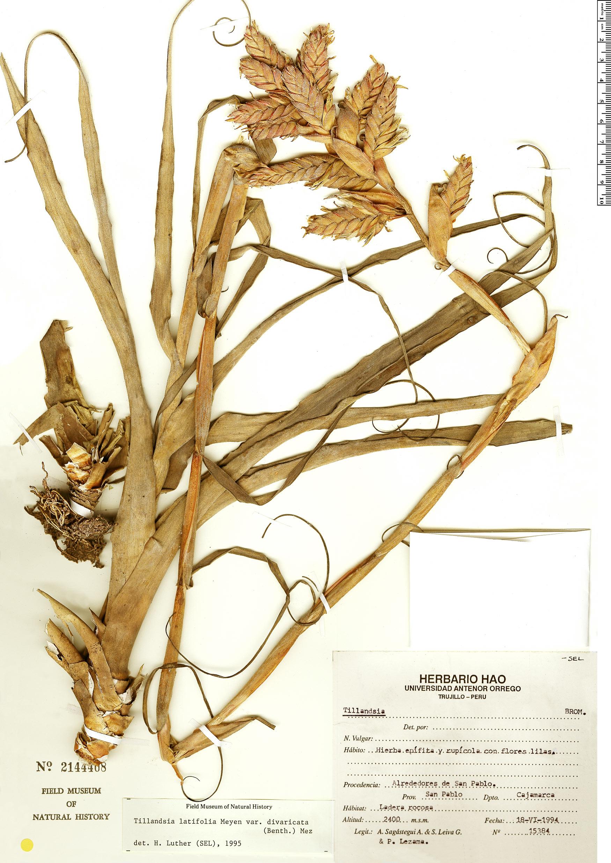 Specimen: Tillandsia latifolia
