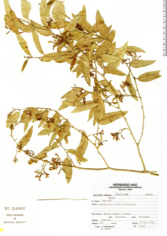 Specimen: Vallesia glabra
