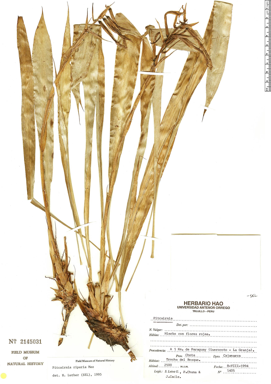Specimen: Pitcairnia riparia