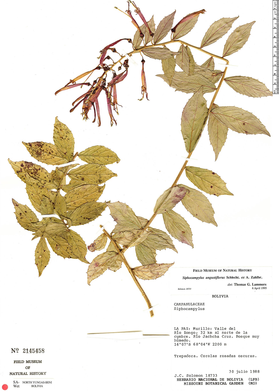 Specimen: Siphocampylus angustiflorus