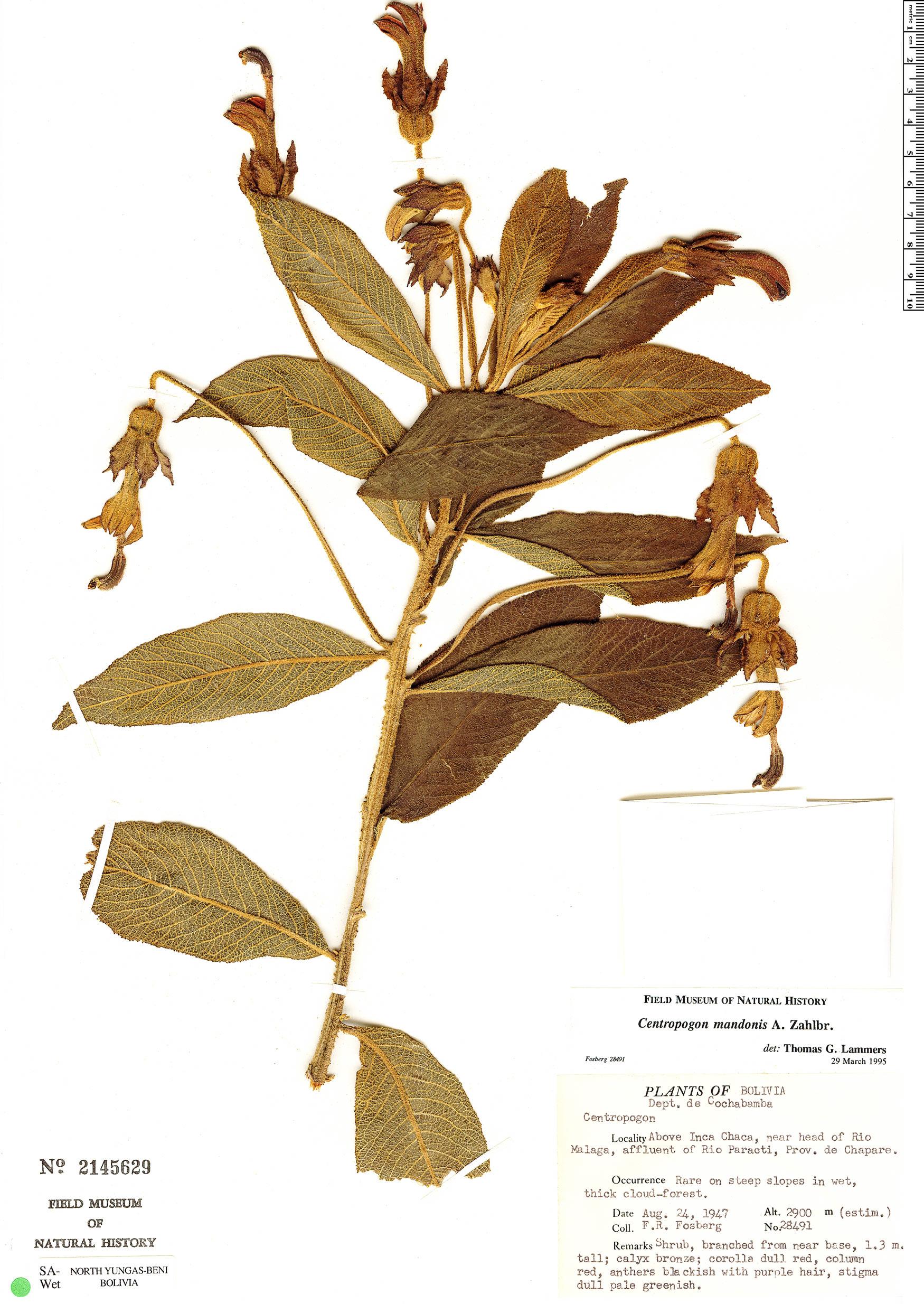 Specimen: Centropogon mandonis
