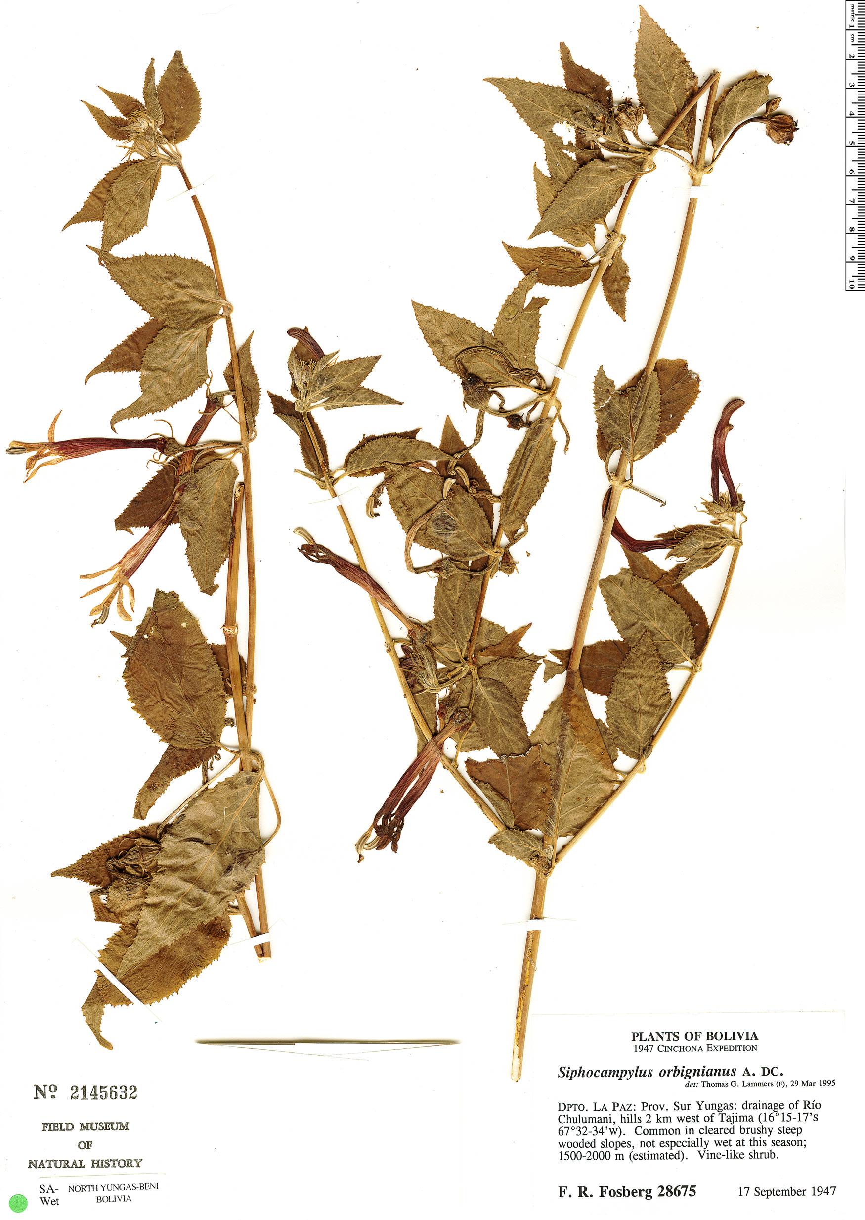 Espécimen: Siphocampylus orbignianus