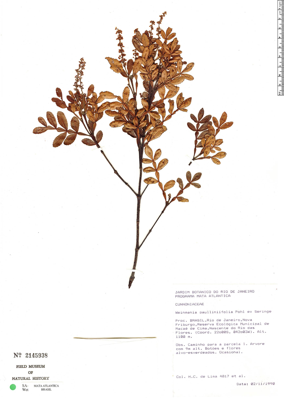 Specimen: Weinmannia paulliniifolia