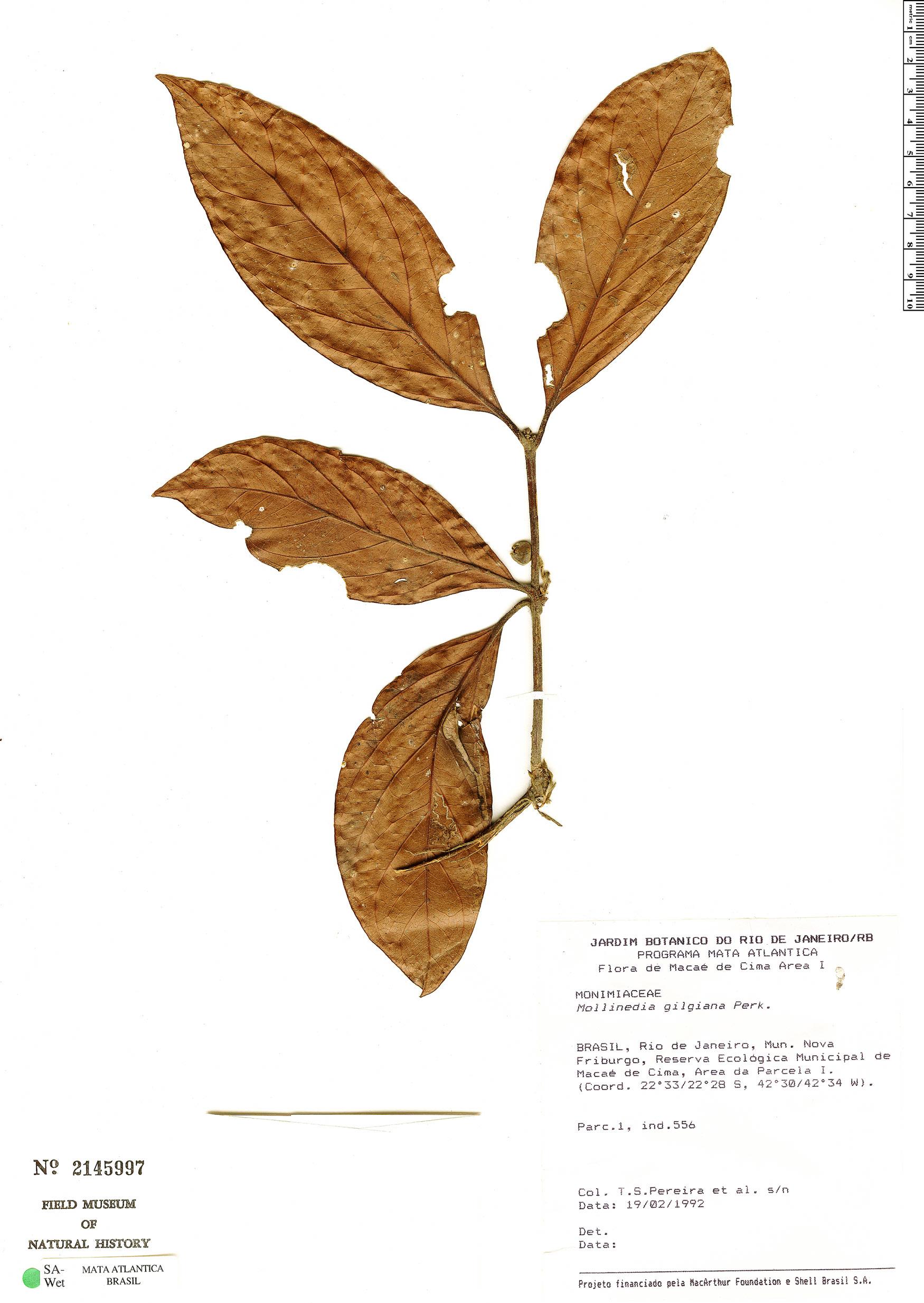 Specimen: Mollinedia gilgiana
