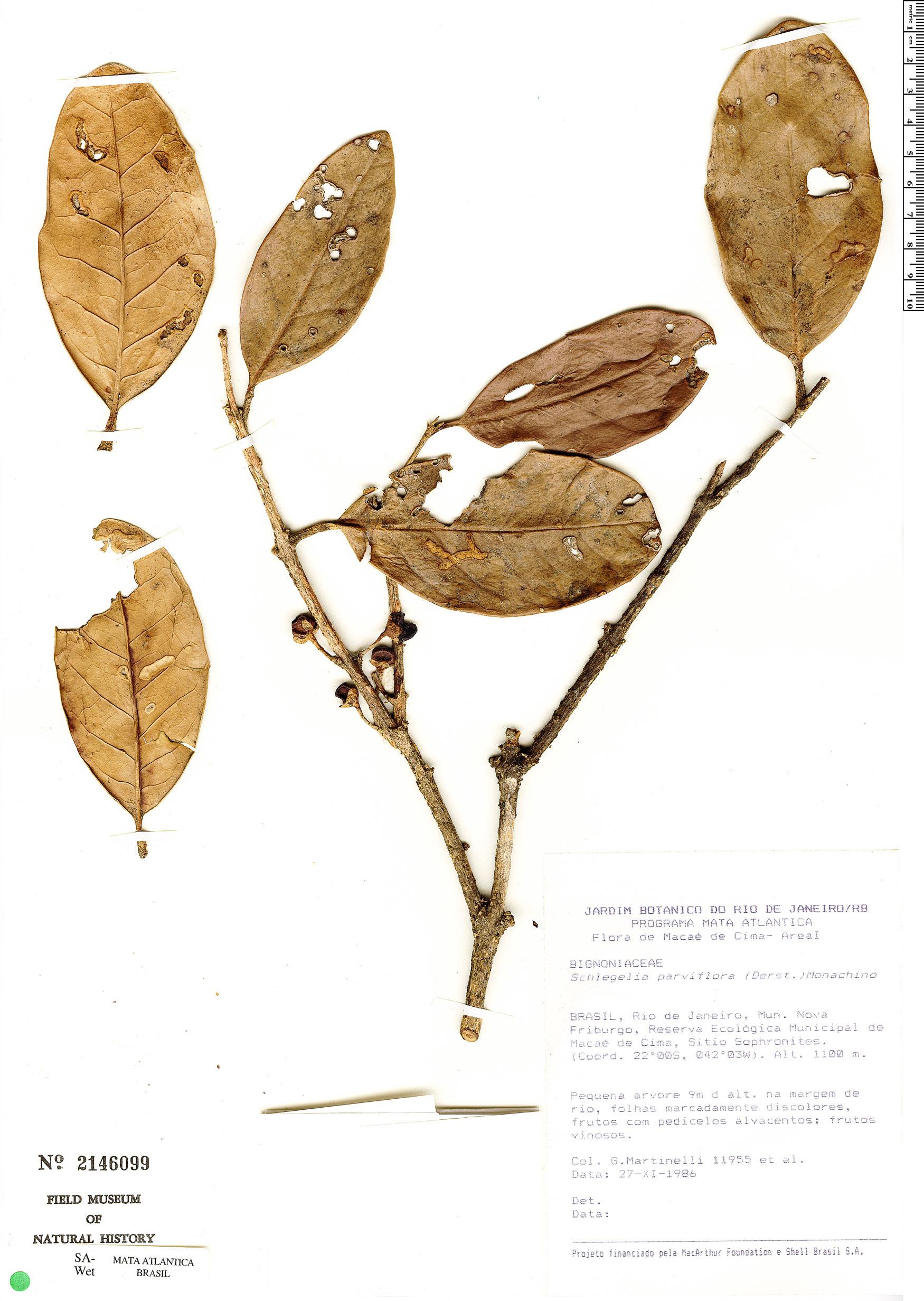 Specimen: Schlegelia parviflora