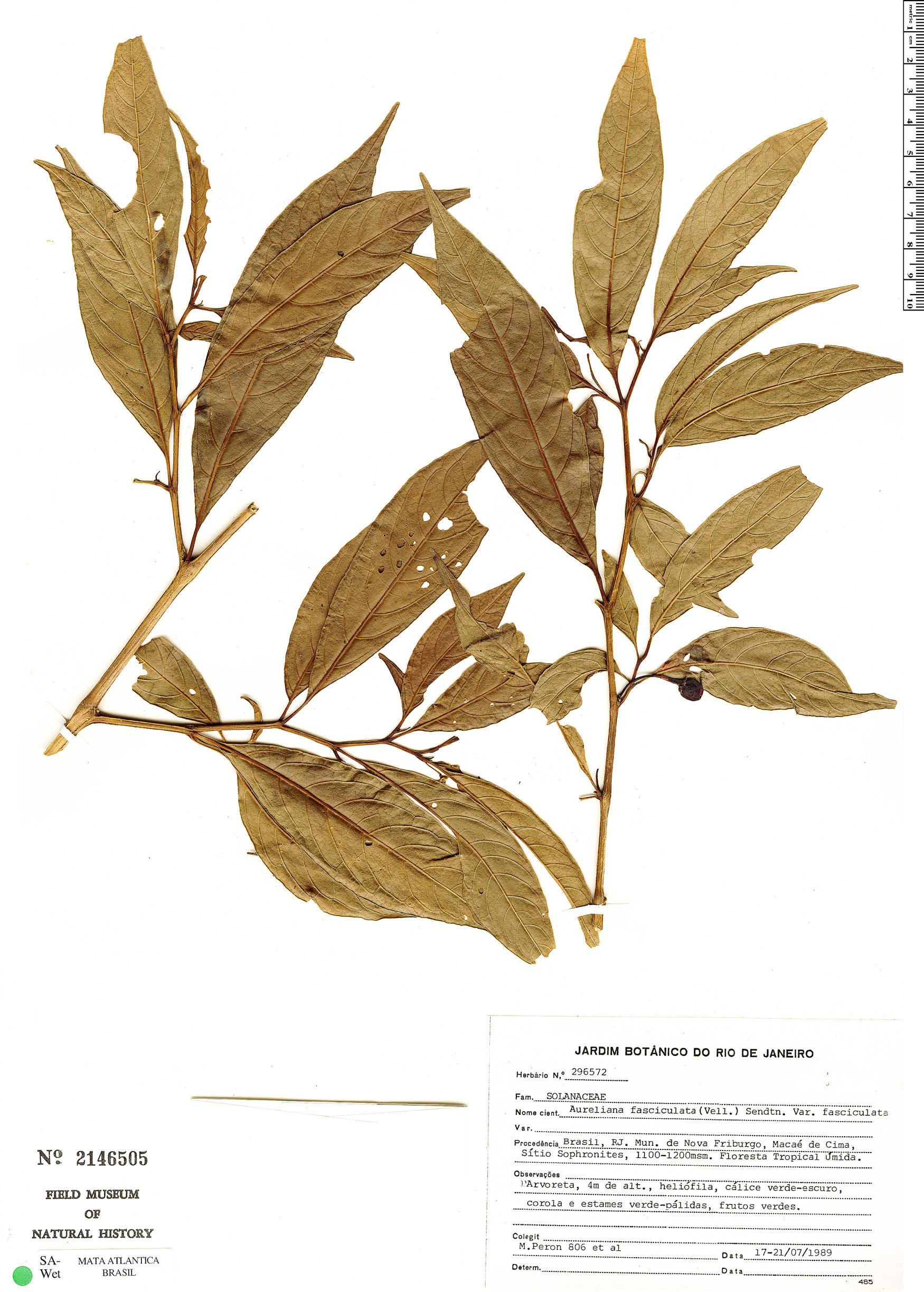 Espécime: Aureliana fasciculata