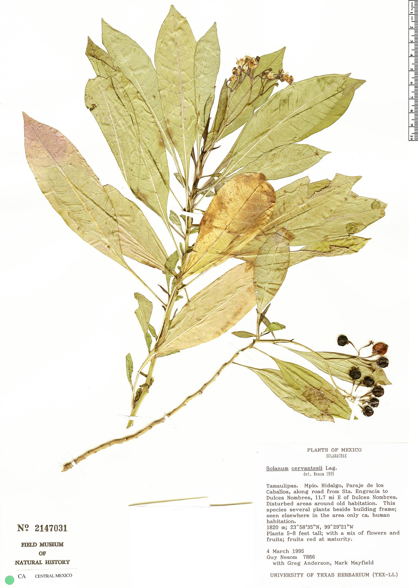 Solanum aligerum image