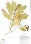 Solanum pubigerum Dunal, Mexico, G. L. Nesom 7866, F