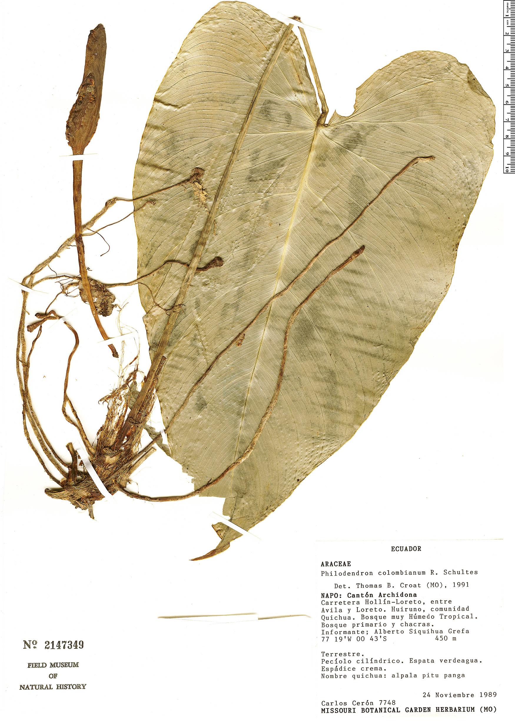 Specimen: Philodendron colombianum