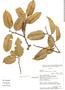 Clarisia racemosa Ruíz & Pav., Ecuador, D. A. Neill 9032, F