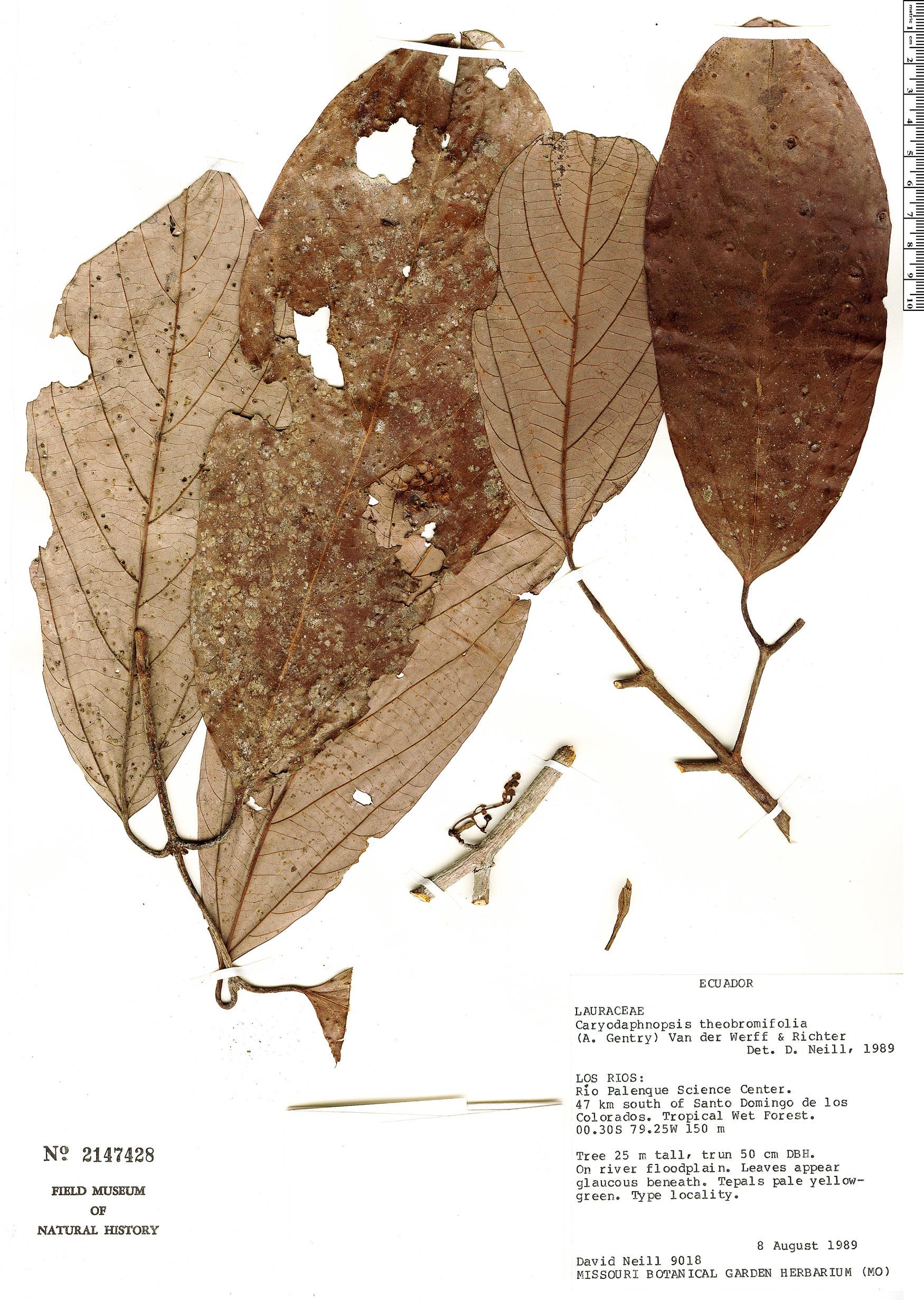 Specimen: Caryodaphnopsis theobromifolia