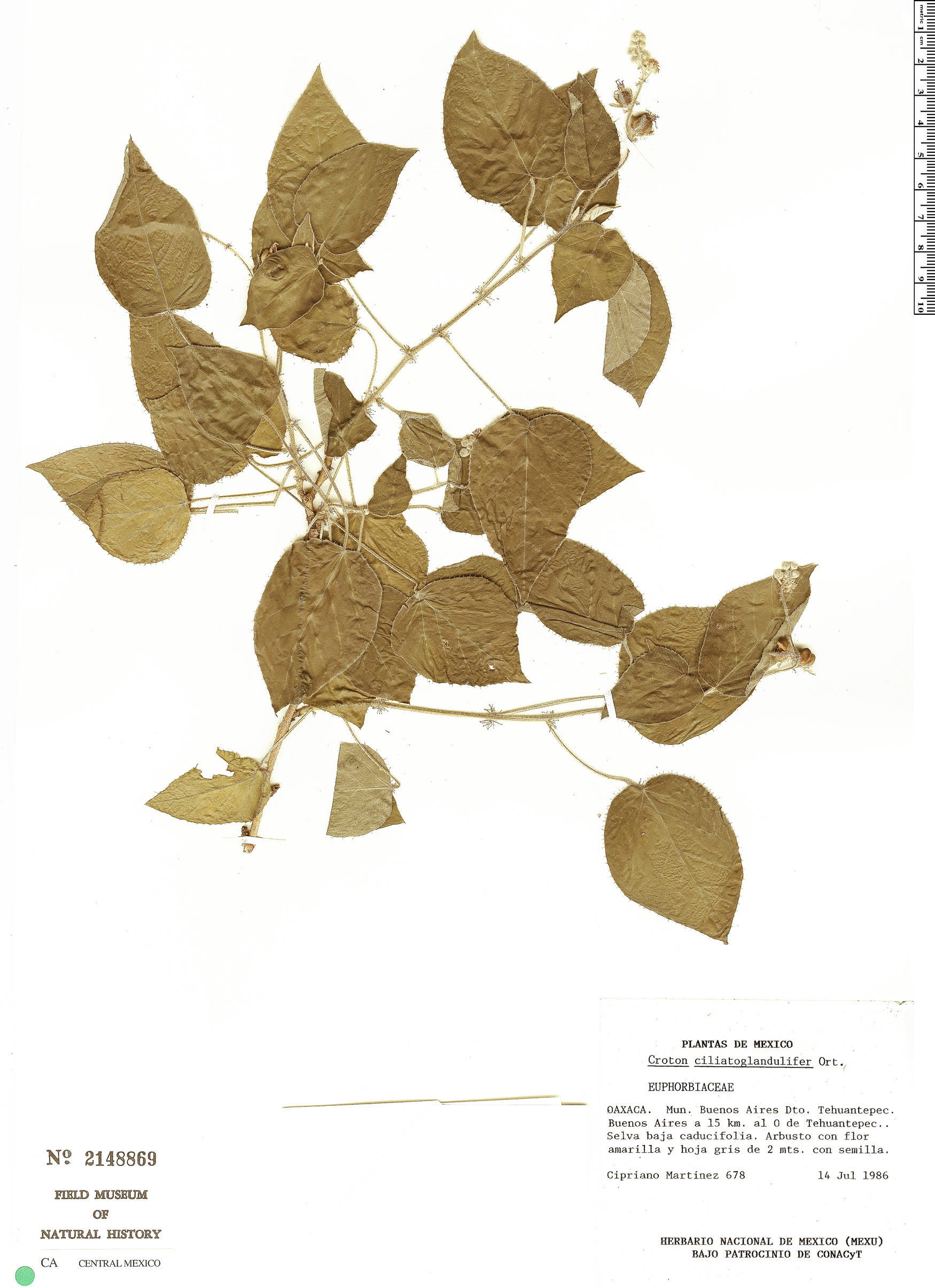 Specimen: Croton ciliatoglandulosus