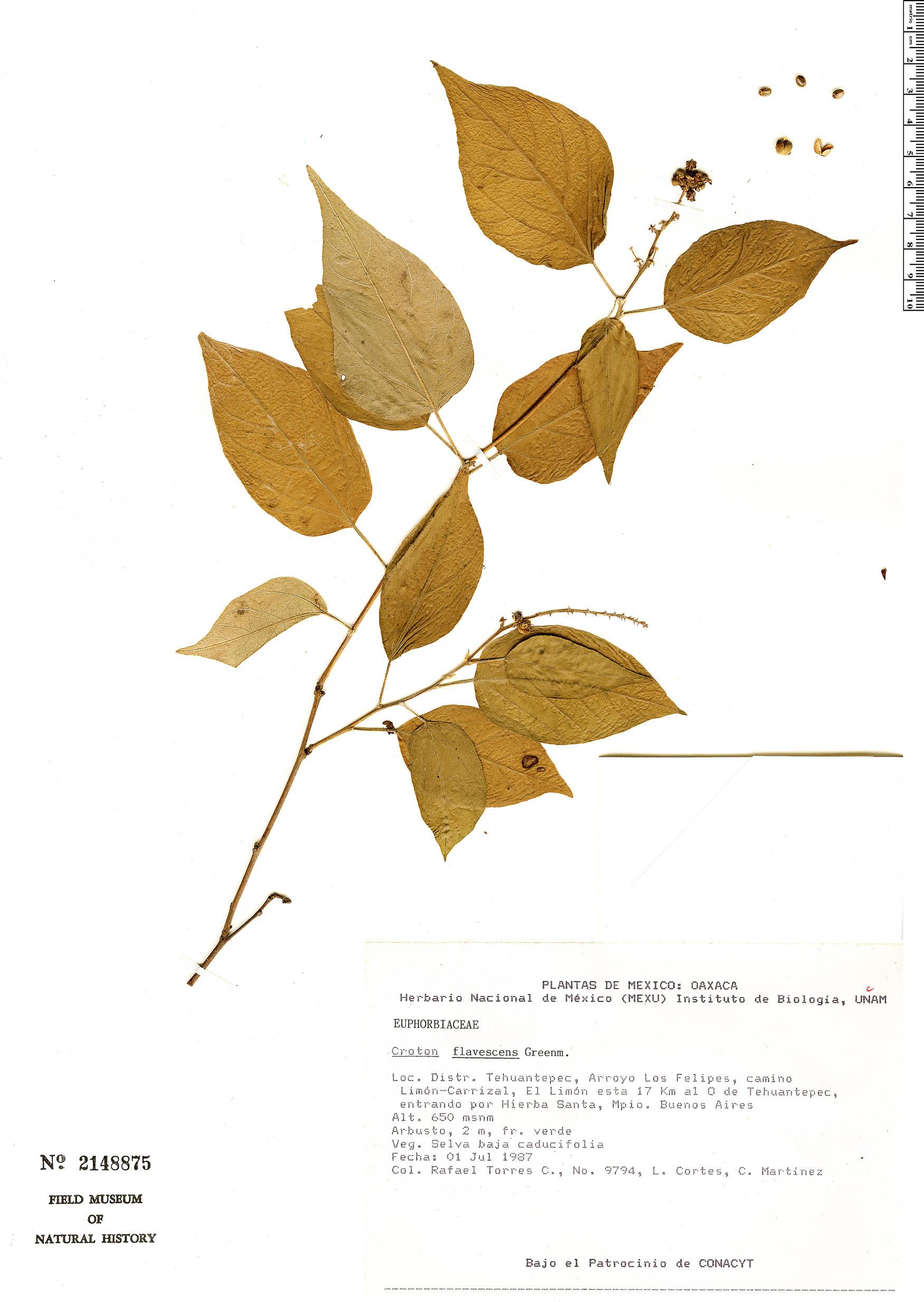 Specimen: Croton flavescens