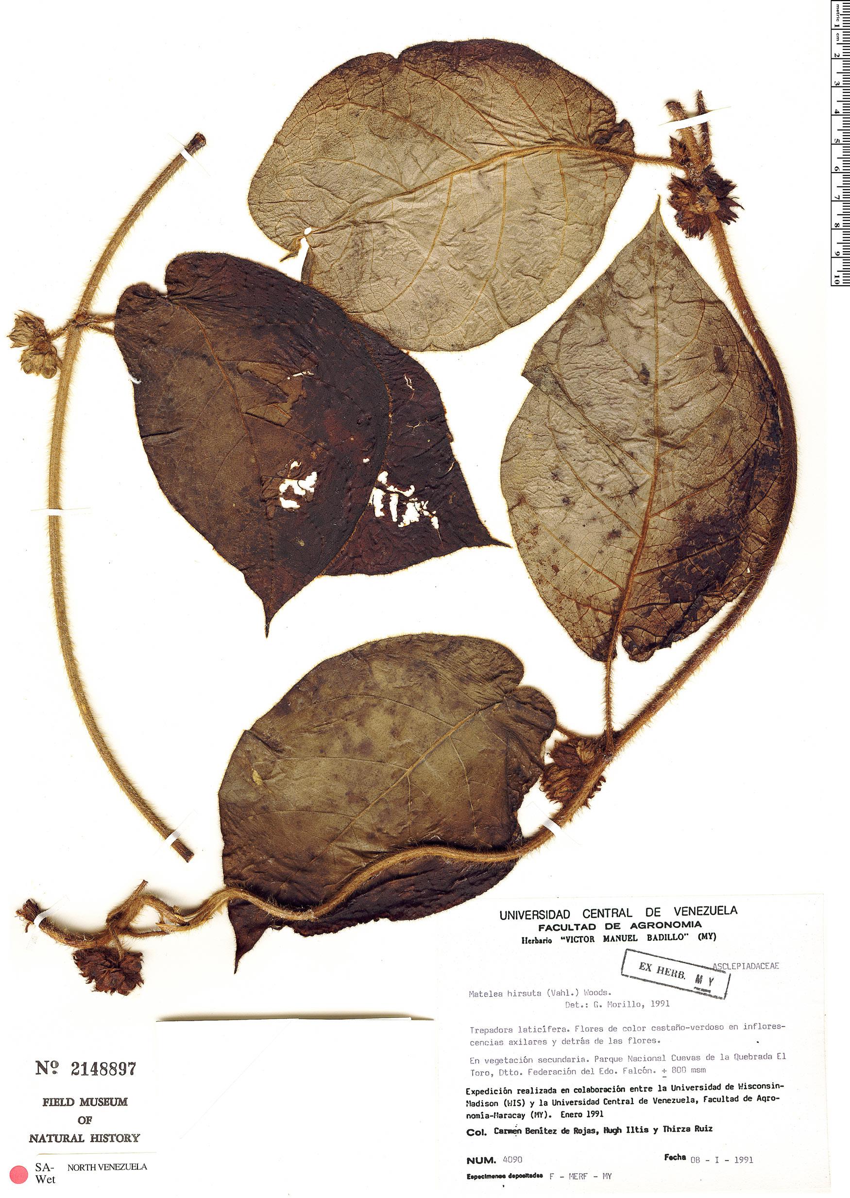 Specimen: Macroscepis hirsuta