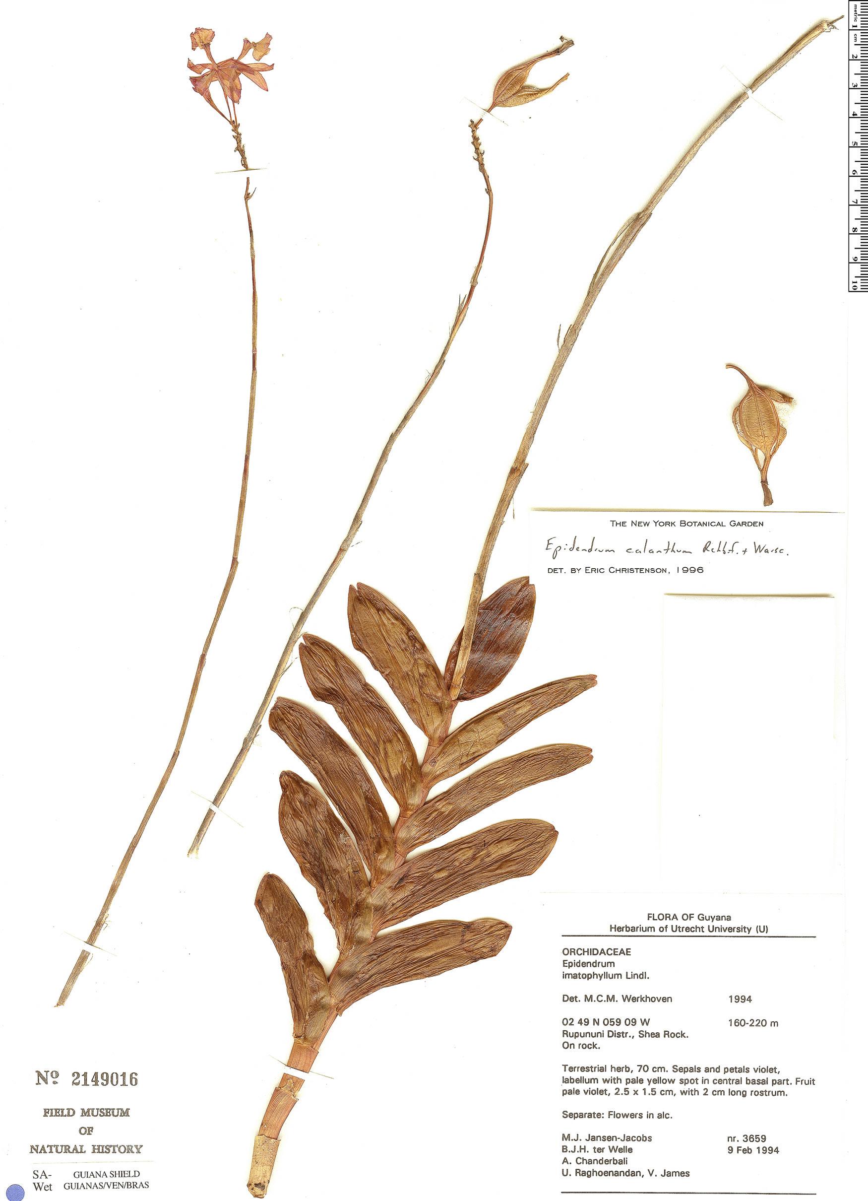 Specimen: Epidendrum calanthum