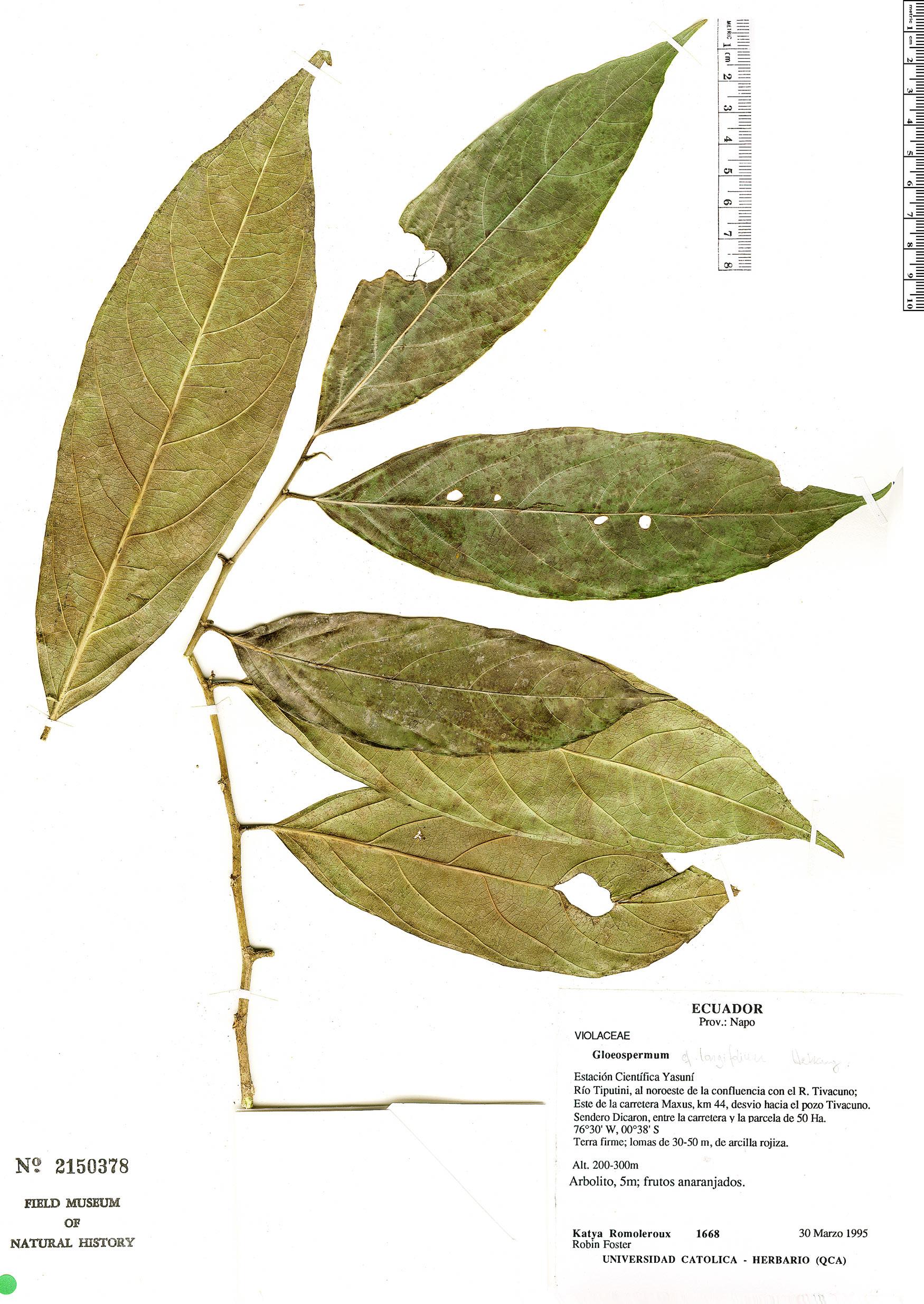 Specimen: Gloeospermum longifolium