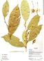 Quararibea guianensis Aubl., Ecuador, K. Romoleroux 1663, F