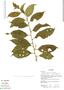 Cestrum microcalyx Francey, Ecuador, K. Romoleroux 1695, F