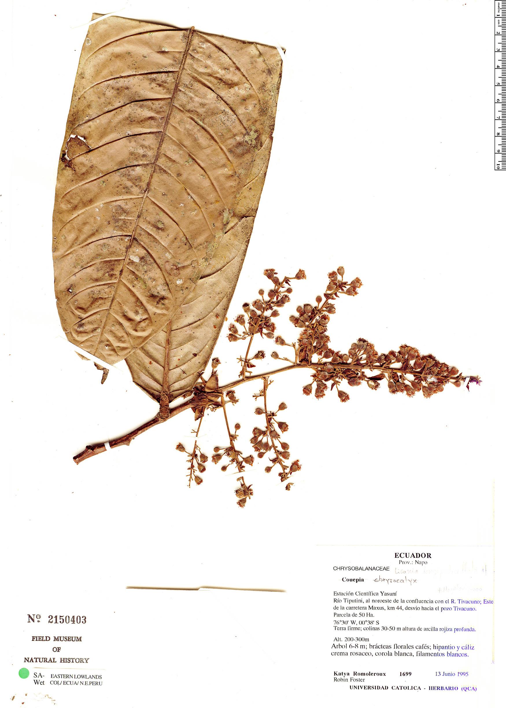 Specimen: Licania longipedicellata