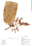 Licania longipedicellata image