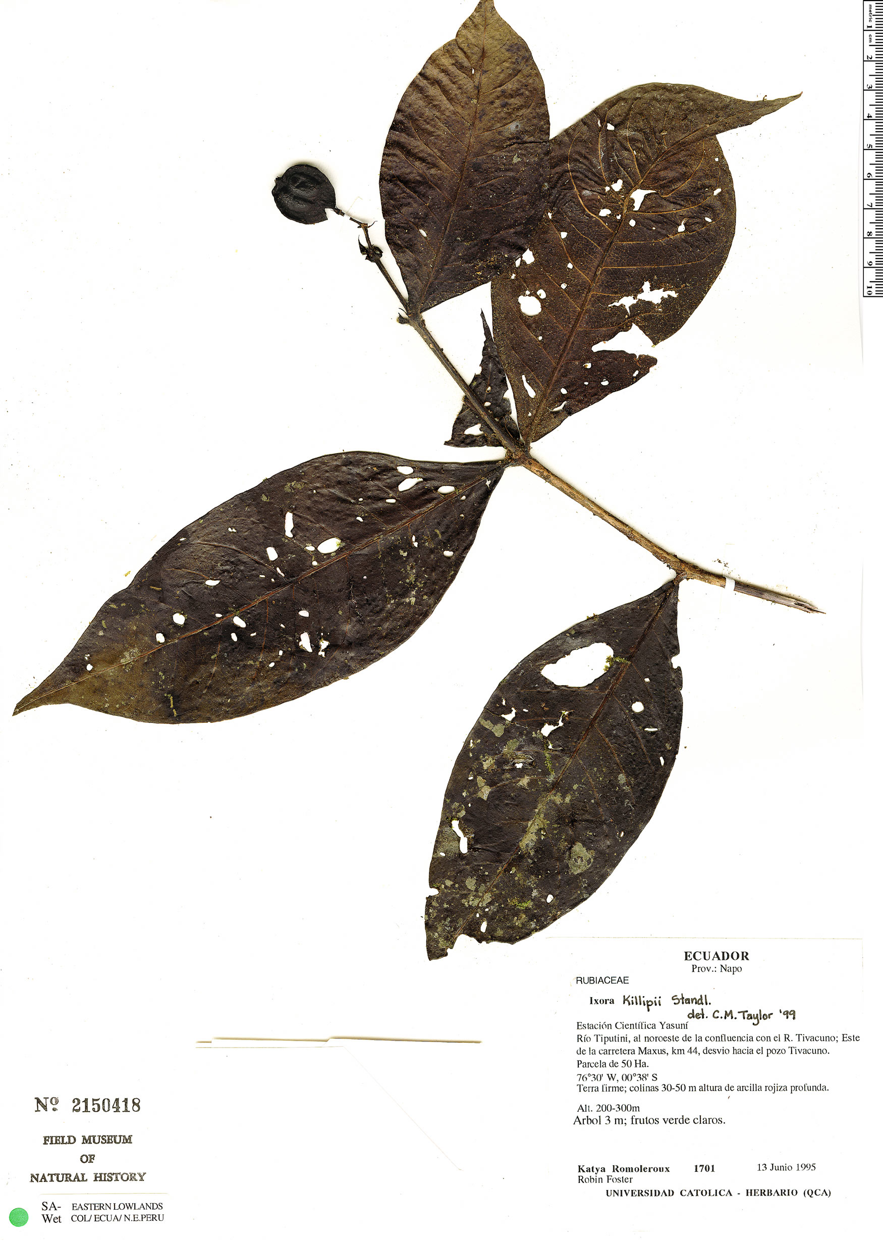 Specimen: Ixora killipii