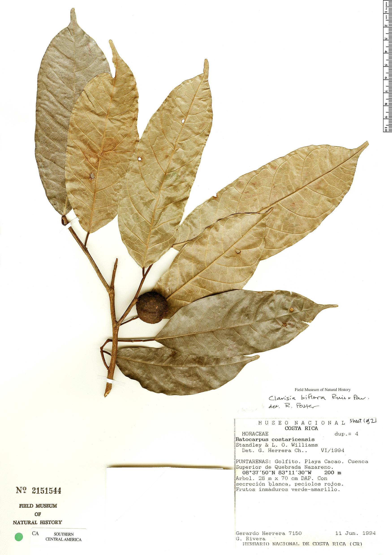 Clarisia biflora image
