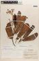 Micrandra sprucei (Müll. Arg.) R. E. Schult., VENEZUELA, R. E. Schultes 9284, F