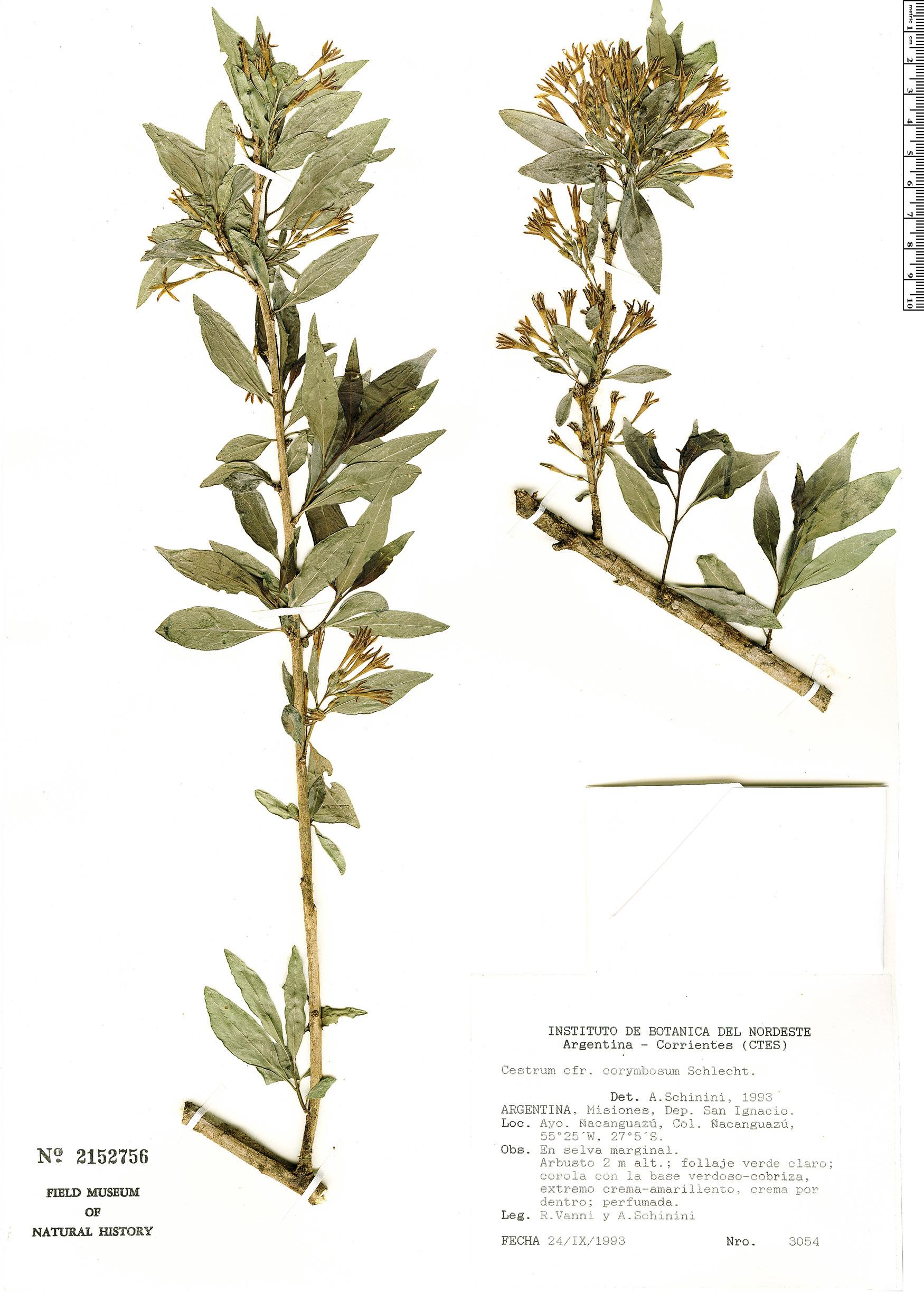 Specimen: Cestrum corymbosum